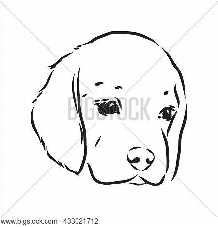 Outlined Beagle Dog Head. Vector Illustration Beagle Dog Is A Simple Vector Sketch Illustration
