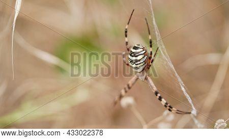 Macro Photo Female Spider Argiope Bruennichi Or Aspen Spider In Spider Web Against Background Dry Be
