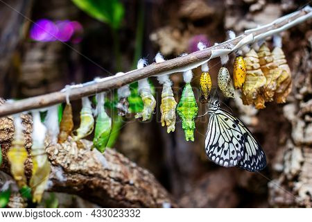 Butterfly Chrysalis Hanging On The Tree Branch. Insect Lifecycle, Larva Metamorphosis And Cocoon Tra
