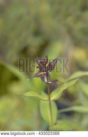 Perennial Phlox Flower Buds - Latin Name - Phlox Paniculata