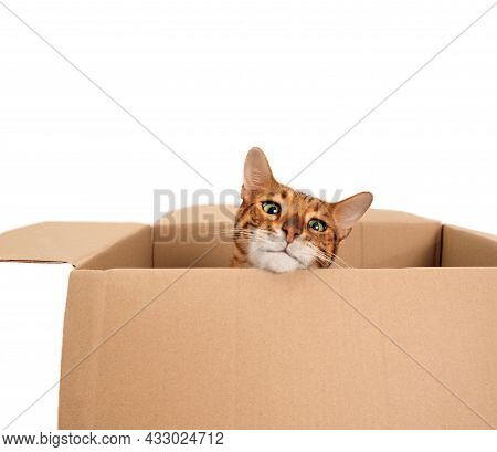 Funny Beautiful Playful Striped Ginger Purebred Bengal Cat Look From Carton Box On White Background.