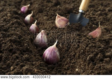 Planting And Growing Garlic In The Ground In The Beds By The Line Method In Autumn Or Spring
