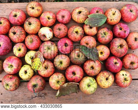Autumn Background With Rows Of Ripe Red Garden Apples Sprinkled With Fallen Leaves, Ripe Fruits From