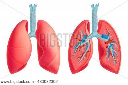 Human Lungs Anatomy Medical Educative Closeup Image Anterior Blood Vessels Structure Veins Arteries