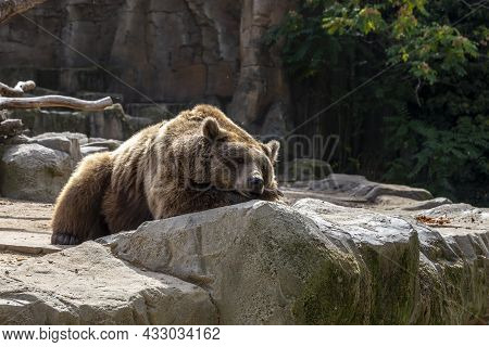 Brown Bear On Rocks At The Zoo Concept Of Conservation Of Wildlife In Captivity. Horizontal Photo An