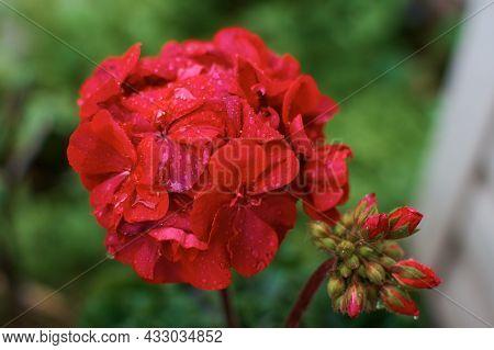 Red Pelargonium Flower Close Up. Drops Of Water On A Flower Petal. Flowers Halfway Through The Rain.