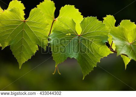 Luscious Green Leaves Glow In The Rays Of The Bright Sun