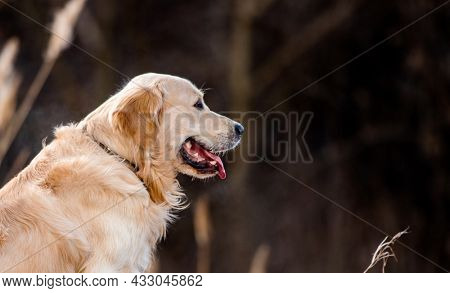 Closeup portrait of golden retriever dog sitting outdoors in early spring time with blurred background and looking back. Cute doggy pet labrador at the nature outside