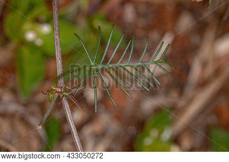 Cypress Vine Leaf Of The Species Ipomoea Quamoclit