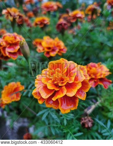 Tagetes Orange Flowers Blossom. Floral Summer And Autumn Background