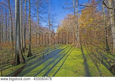Morning Shadows In A Cypress Swamp In Heron Pond In Illinois