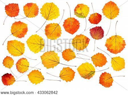 A Set Of Bright Autumn Aspen Leaves With Backlight, Isolated On A White Background.