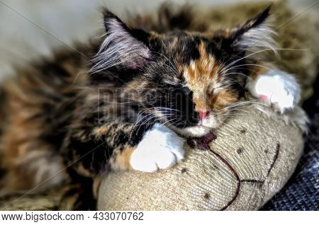 A Cite Maine Coon Kitten Sleeping On A Toy Dog.