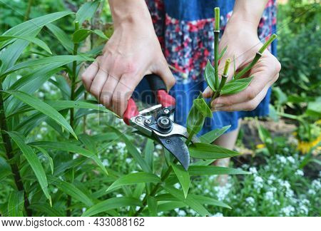 A Woman Is Deadheading Lilies, Cutting Off Spent Blooms After Lilies Finished Flowering With Pruning