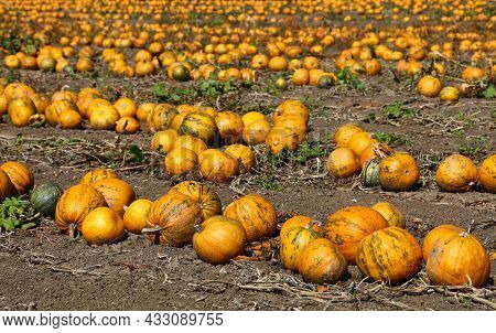 Field Of Ripe Pumpkins Growing, Ready To Harvest In Autumn Season, High Angle View