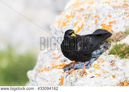 An Alpine Chough ,pyrrhocorax Graculus Or Chova Piquigualda, A Black Bird Of The Crow Family, In The