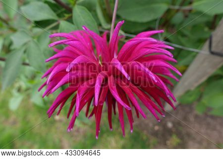 Vivid Pink Shaggy Dahlia With Pointed Petals And Green Foliage