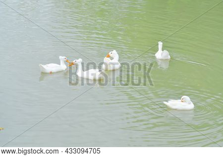 Swimming Ducks, Duck Or Ducks In The Pond