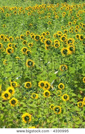 Rear view of sunflowers field forming the beautiful pattern poster