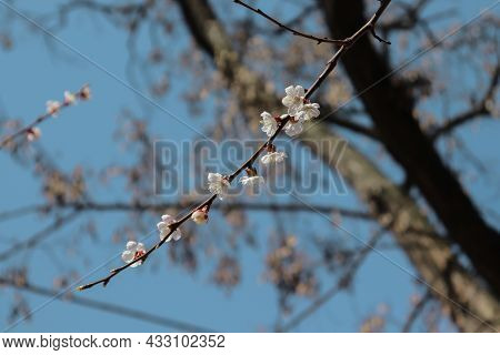 A Spa Spring Of Blooming Cherry On A Background Of Sky And Tree.ring Of Blooming Cherry On A Backgro