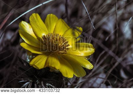 Amur Adonis, Is A Large-scale Perennial Herb. High Quality Photo
