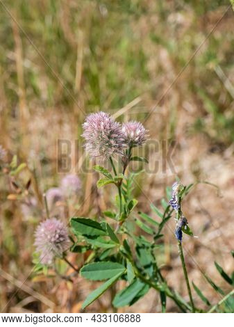 Macro Of Pale Pink Flowers Of Hare's-foot Clover (trifolium Arvense) Covered In Soft Hairs In Summer