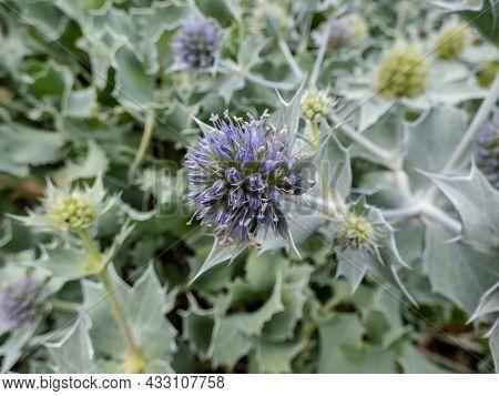 Macro Shot Of Blue Flower Heads With Collars Of Spiky Bracts Of Sea Holly Or Seaside Eryngo (eryngiu