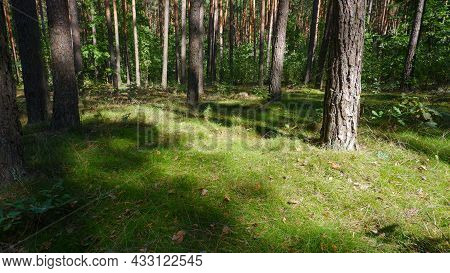 Background Grass Forest Glade Forest Grasses. View Of Grassy Field