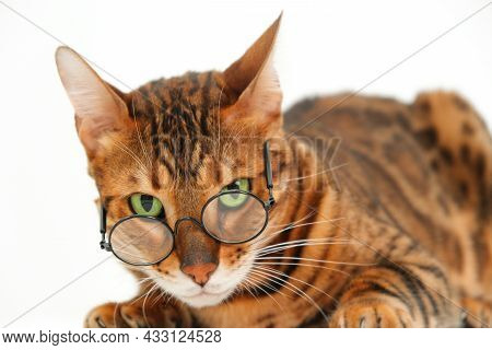 Funny Severe Look Bengal Cat Wearing Eye Glasses Looking At Camera Lying On White Background, Isolat