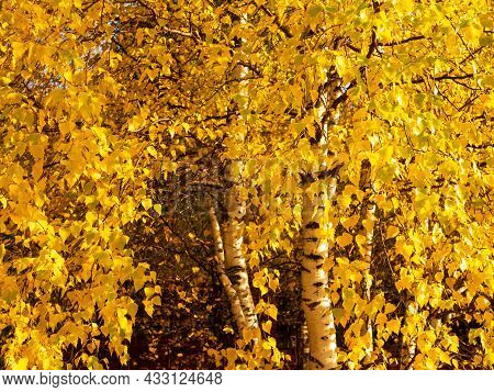 Bright Golden Autumn. Yellow Leaves Of Trees. Close-up.