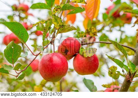 Apple Trees In The Garden With Ripe Red Apples