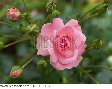 Beautiful Pink Rose In The Garden Pink Flower Background Nature Wildlife Pink Flower With Leaves Pet