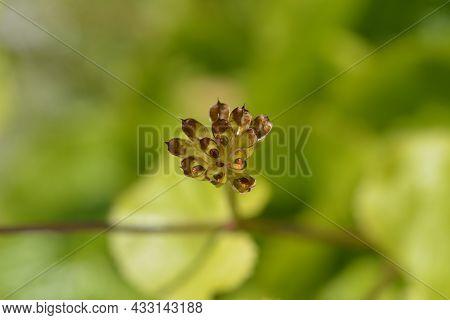 Marsh Marigold Seed Pods - Latin Name - Caltha Palustris