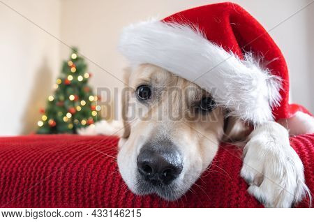 A Golden Retriever In A Santa Claus Hat Lies On A Red Blanket Near A Christmas Tree With A Garland.