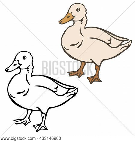 Vector Illustration Of Domestic Duck Colored And Depicted By A Line And Outline. Design For Coloring