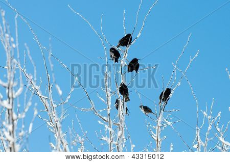 Birds In An Icy Tree