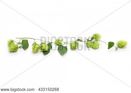 freshly harvested hops  (flower cones, vine and leaves)  isolated on white background