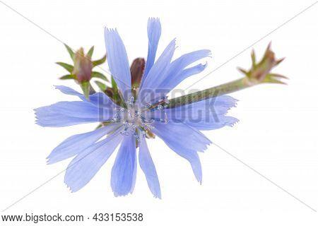 Chicory Flower Isolated On White Background. Cichorium Intybus.