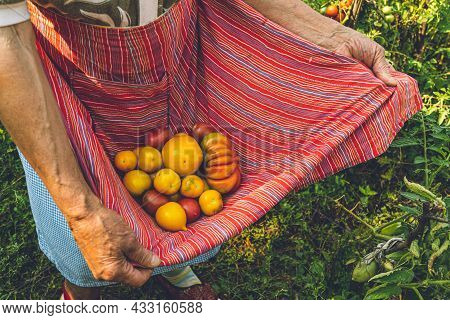 Elder Woman Arms Hold Organic Ripe Yellow Tomatoes In Red Striped Textile Apron. Wrinkled Skin Hands