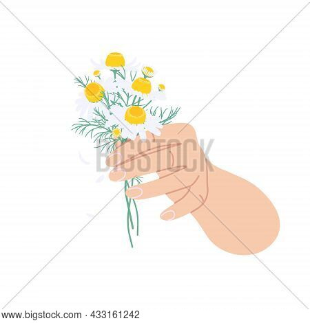 Female Hand Holding Bunch Of Chamomile Flowers. Simple Woman Hand With Small Flowers And Green Leave