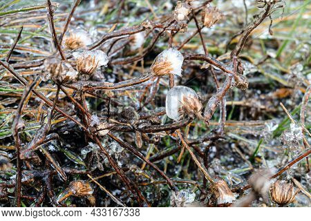 Field Wild Plants Covered With Ice Shells After Freezing Rain