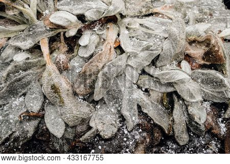 Garden Plant Covered With Ice Shells After Freezing Rain. Close-up.