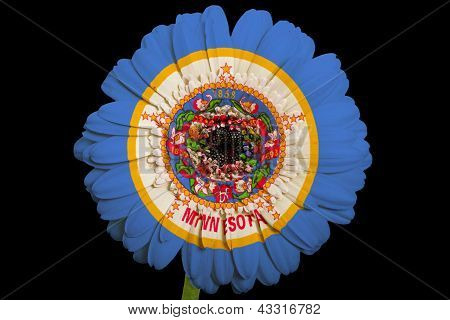 Gerbera Daisy Flower In Colors  Flag Of American State Of Minnesota    On Black Background