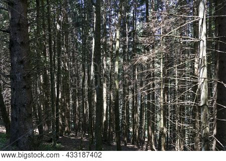 Pine Trees In The Woods With Dry Trunks And Branches. Forest With Sunlight Coming Through