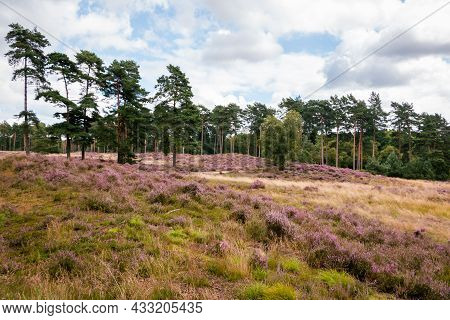 Flowering Heather At The National Park