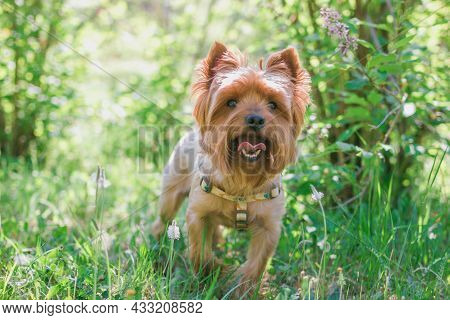 Miniature Yorkshire Terrier Dog In Summer Foliage With Flowers. Summer Vibes.