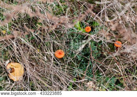 Defocus Group Of Light Orange Round Mushrooms Toadstool Grows In The Forest Among Dry Grass And Brow