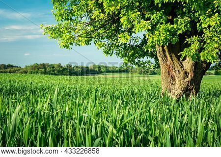 A Large Deciduous Tree Growing In A Green Field