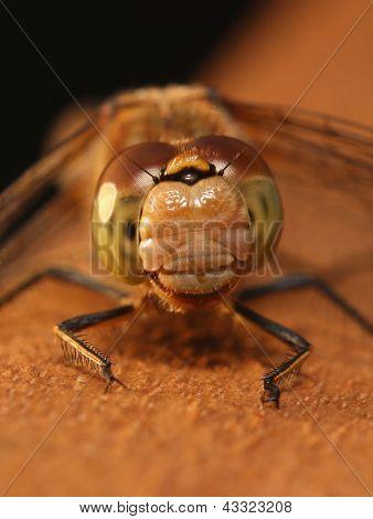 Female Common Darter Dragonfly (Sympetrum striolatum)