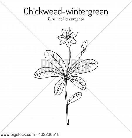 Chickweed-wintergreen Or Arctic Starflower Lysimachia Europaea , Medicinal Plant. Hand Drawn Botanic